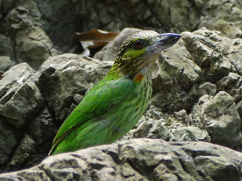 Green-eared-barbet3
