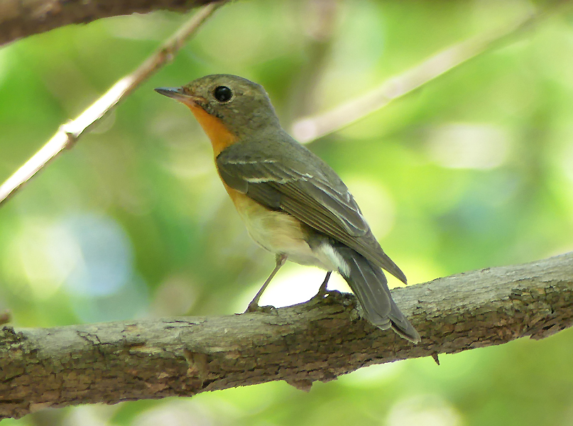 Mugimaki-flycatcher-female