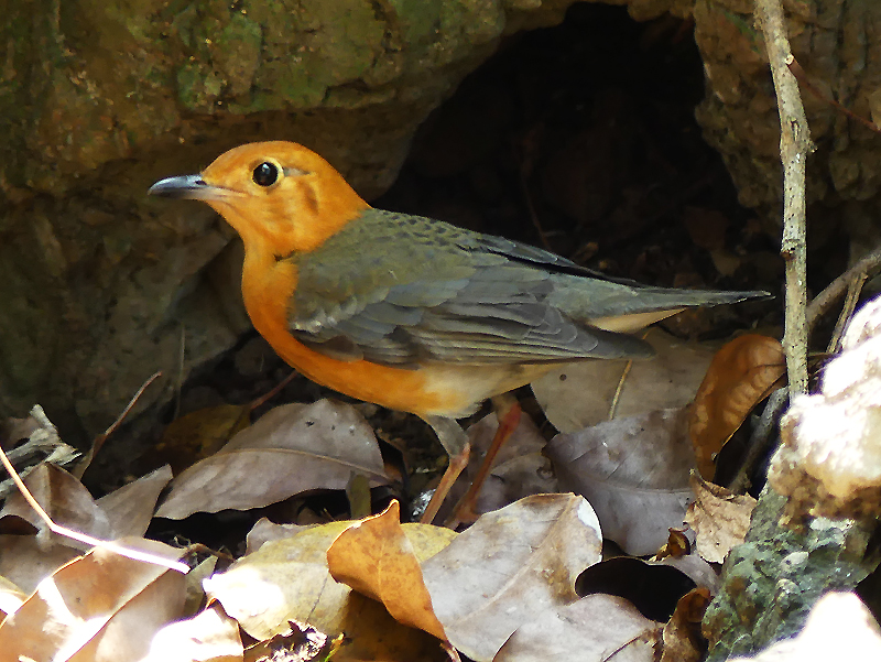 orange-headed-thrush9