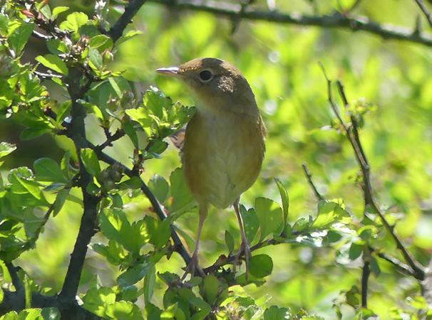 Brown-bush-warbler1