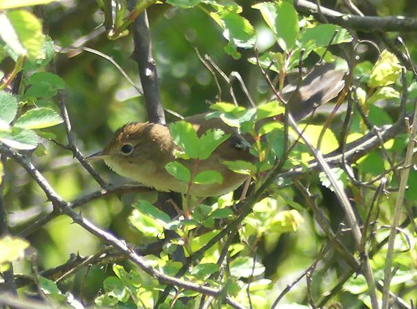 Brown-bush-warbler3