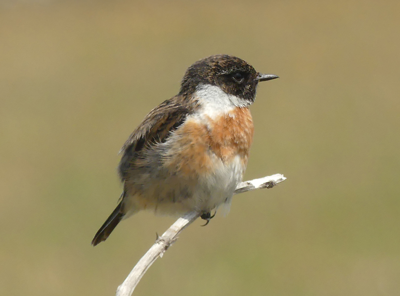 Common-stonechat3