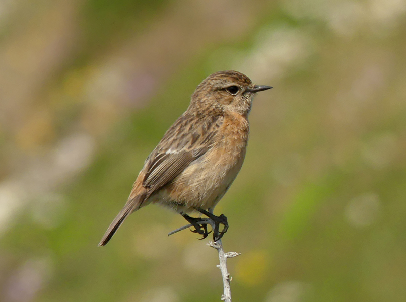 Common-stonechat4