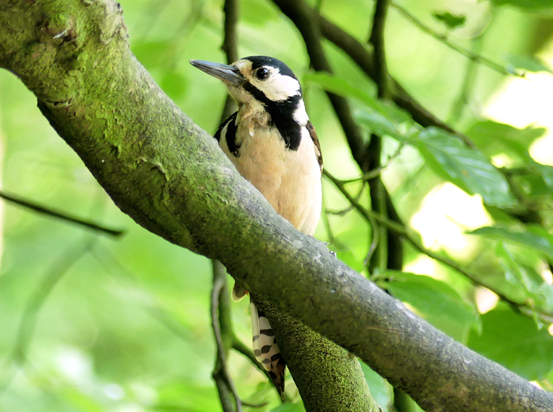 Great-spotted-woodpecker3