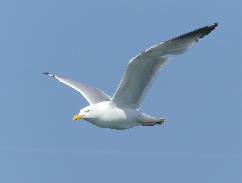 Herring-gull1
