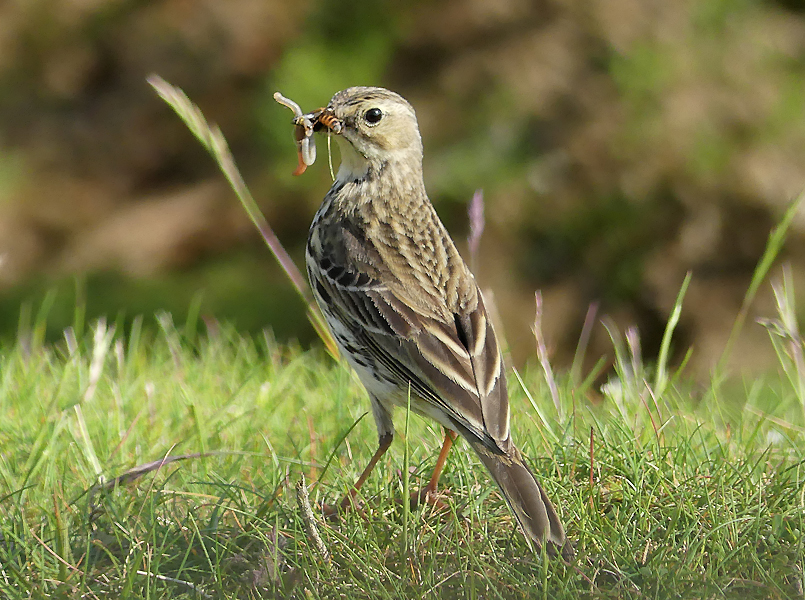 Meadow-pipit7