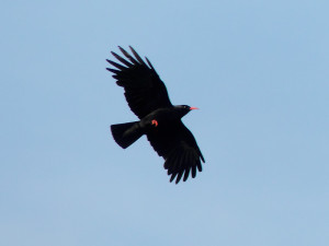 Red-billed-chough