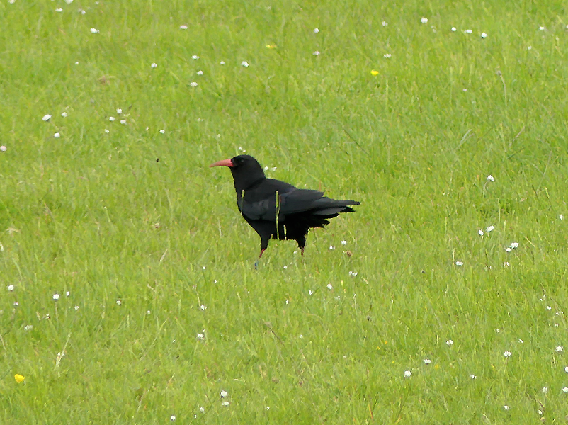 Red-billed-chough2