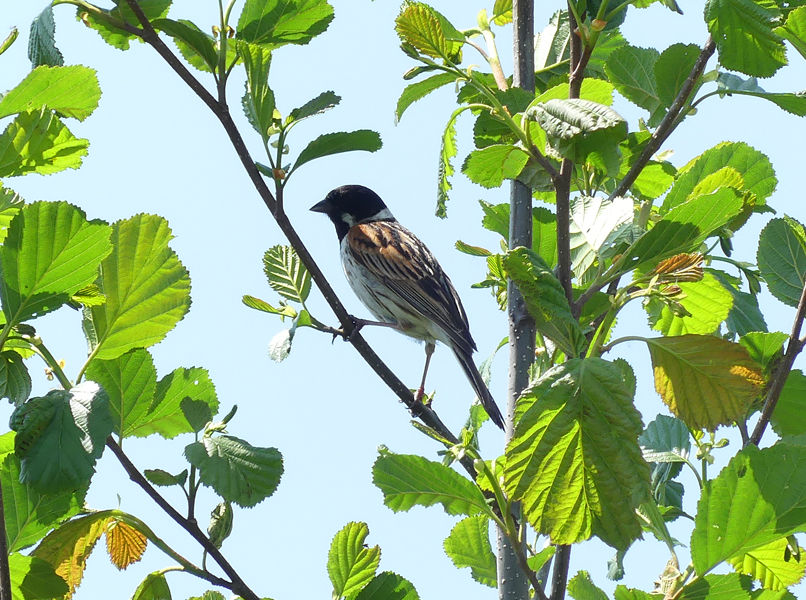 Reed-bunting7