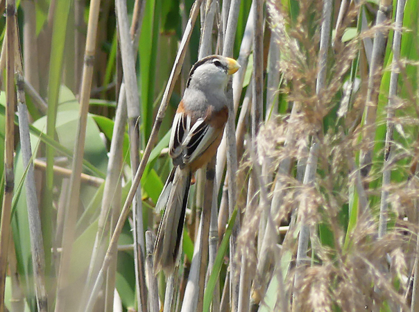 Reed-parrotbill