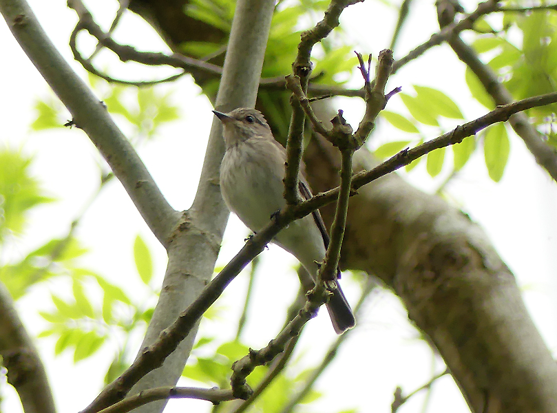 Spotted-flycatcher2