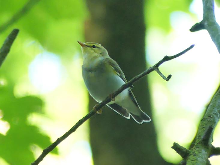 Wood-warbler4