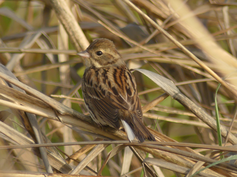 Black-faced-bunting-female