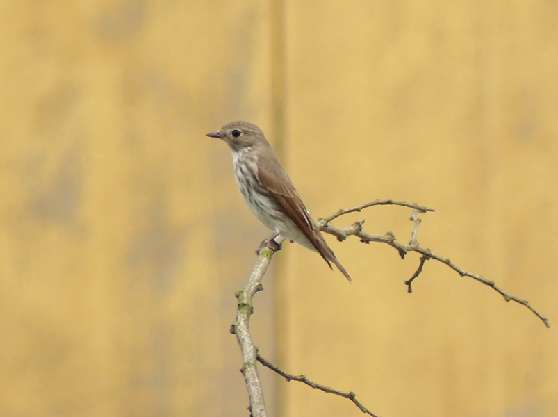 Grey-streaked-flycatcher