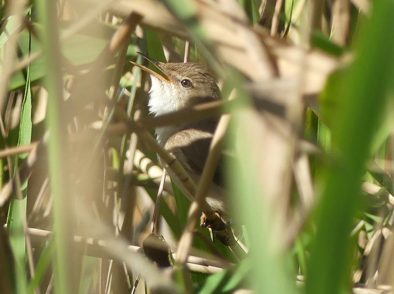 Reed-warbler3