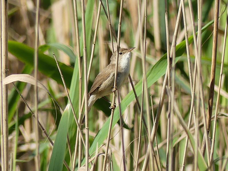 Reed-warbler4