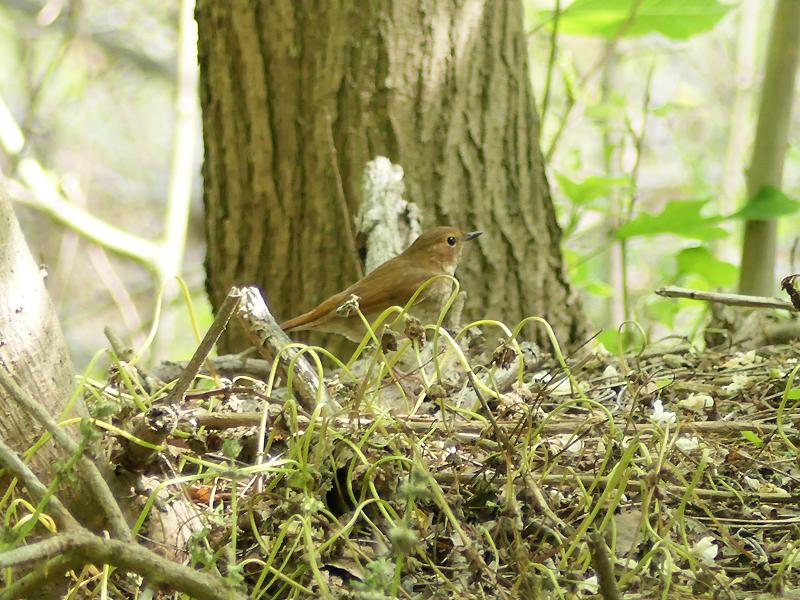 Rufous-tailed-robin