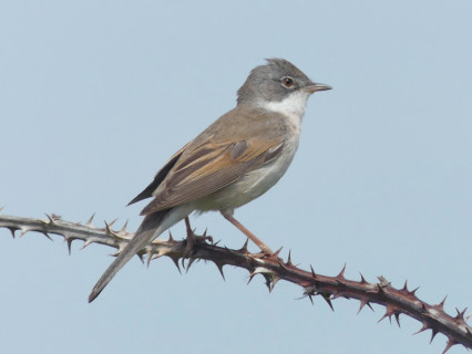 Whitethroat2