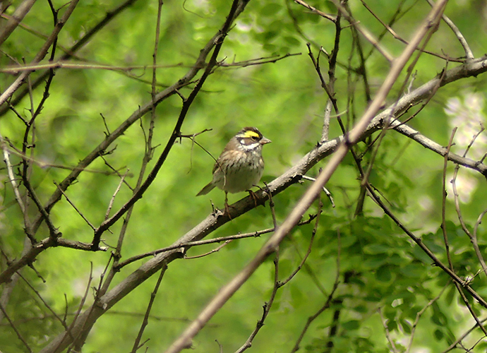 Yellow-browed-bunting