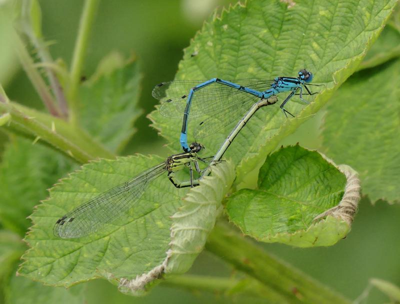 common-blue-damselfly