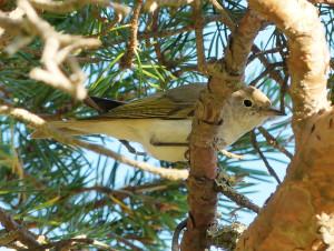 Western-bonellis-warbler