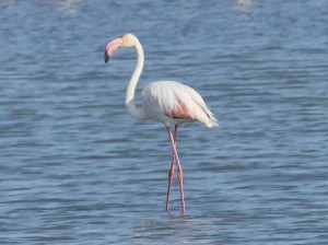 Greater-flamingo