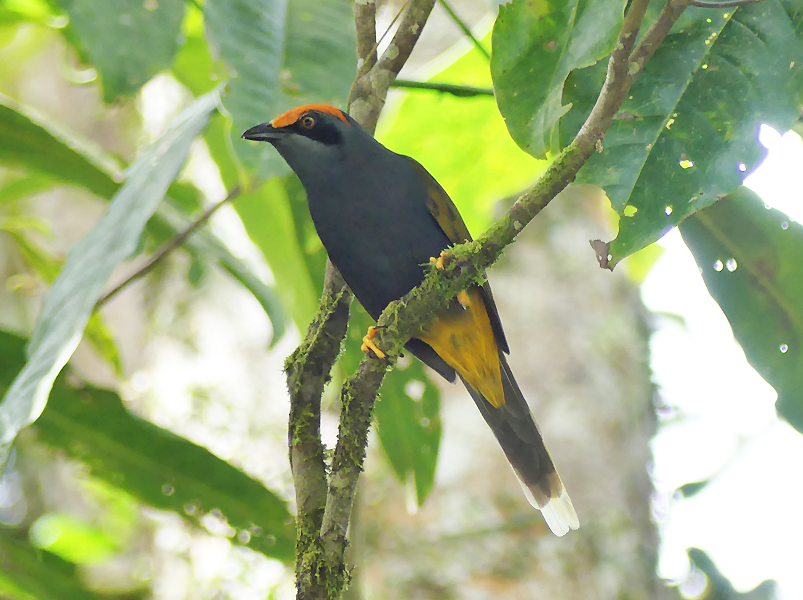 Flame-browed-starling1