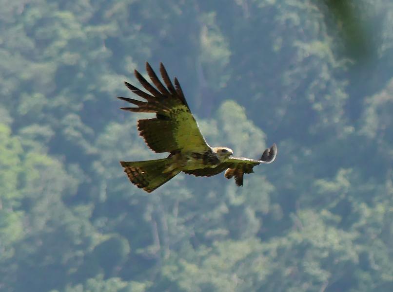 Sulawesi-hawk-eagle2