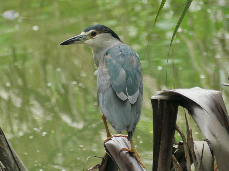 Black-crowned-night-heron3