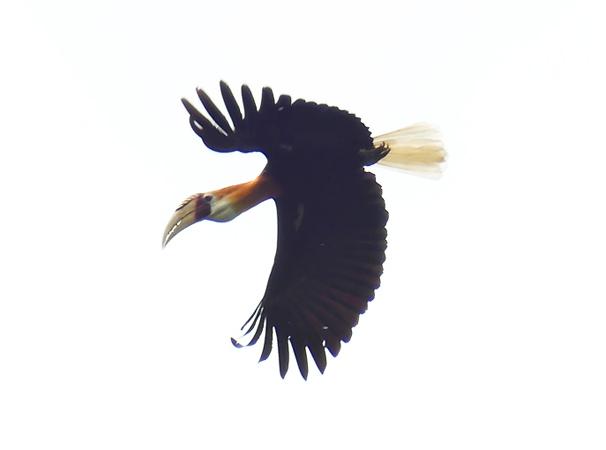 Blyths-hornbill1