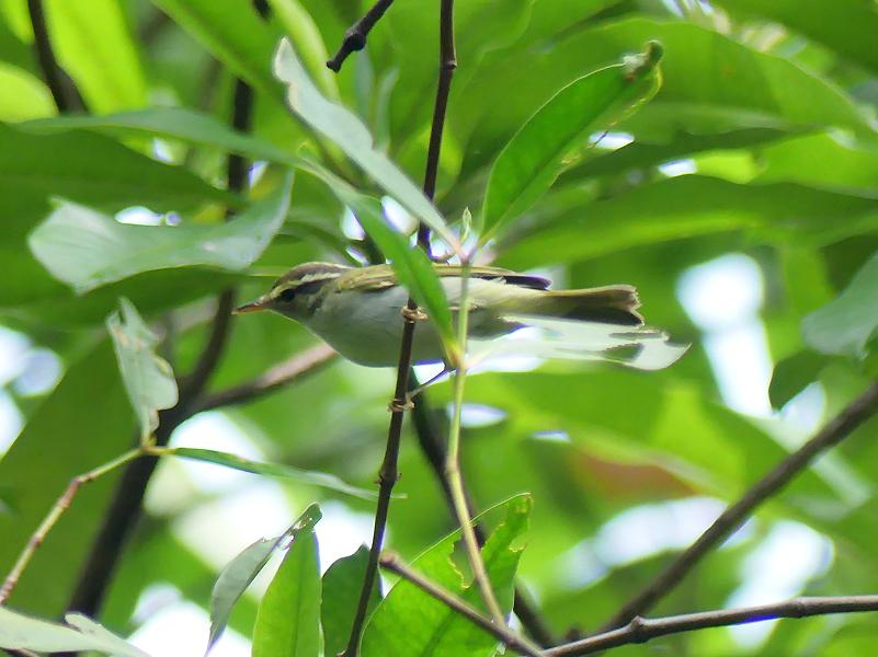 Eastern-crowned-warbler7