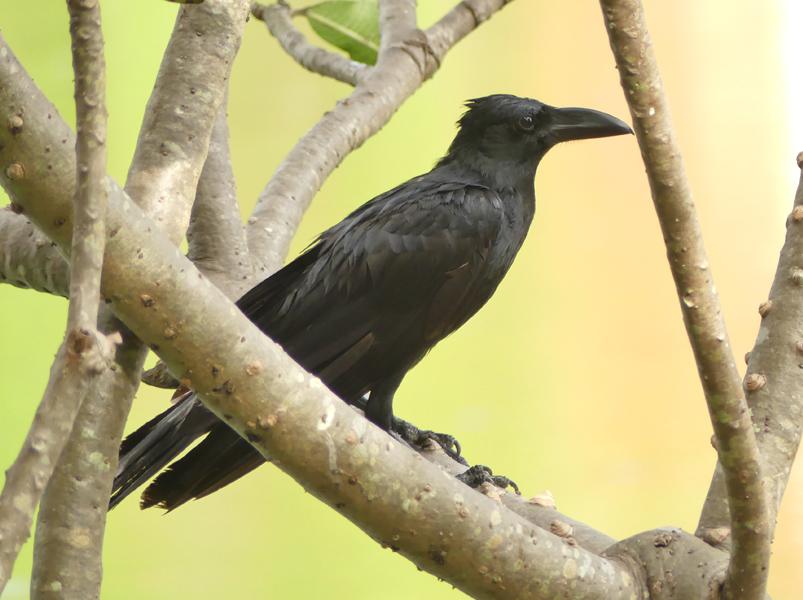 Eastern-jungle-crow2
