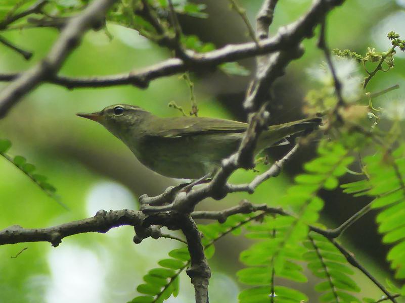 Kamchatka-leaf-warbler1
