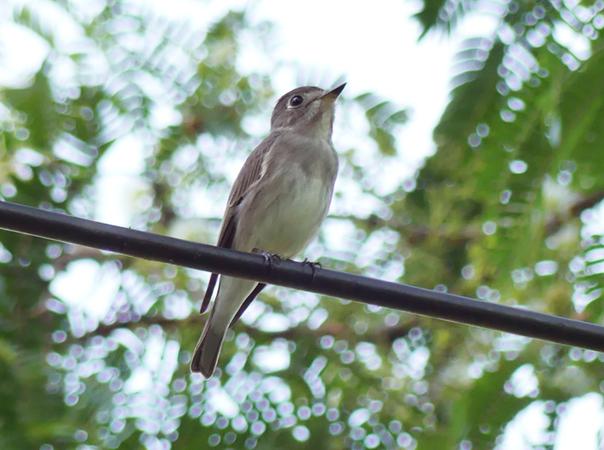 Asian-brown-flycatcher6