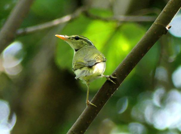 Eastern-crowned-warbler8