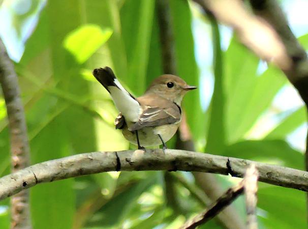 Taiga-flycatcher2