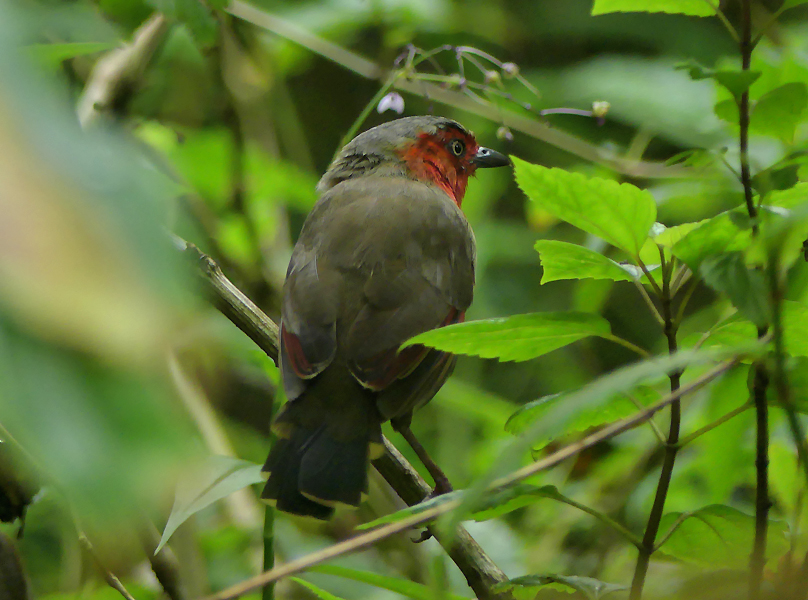 scarlet-faced-liocichla9