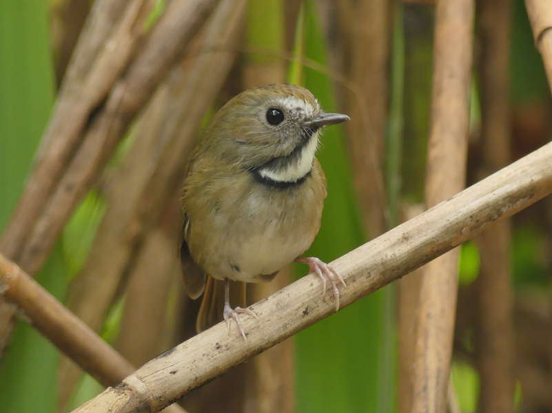 white-gorgetted-flycatcher4