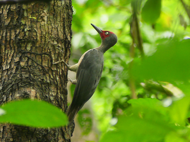 Ashy-woodpecker2