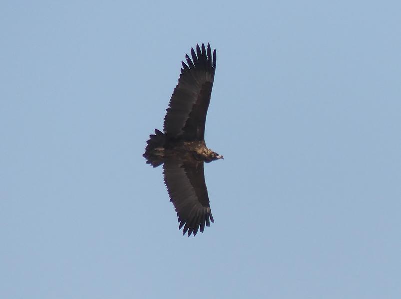 Cinereous-vulture2