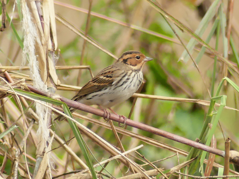 Little-bunting2