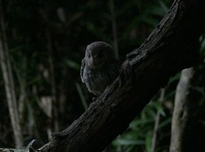 Oriental-scops-owl2