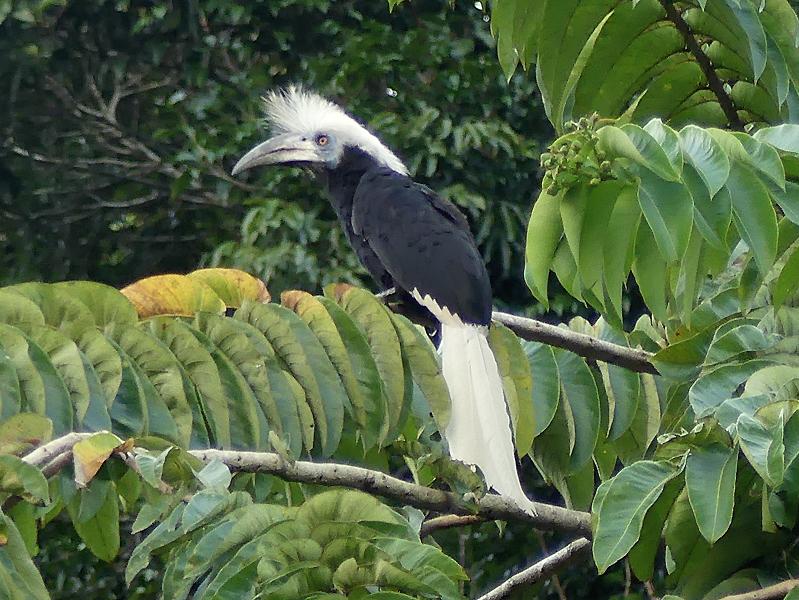White-crowned-hornbill2