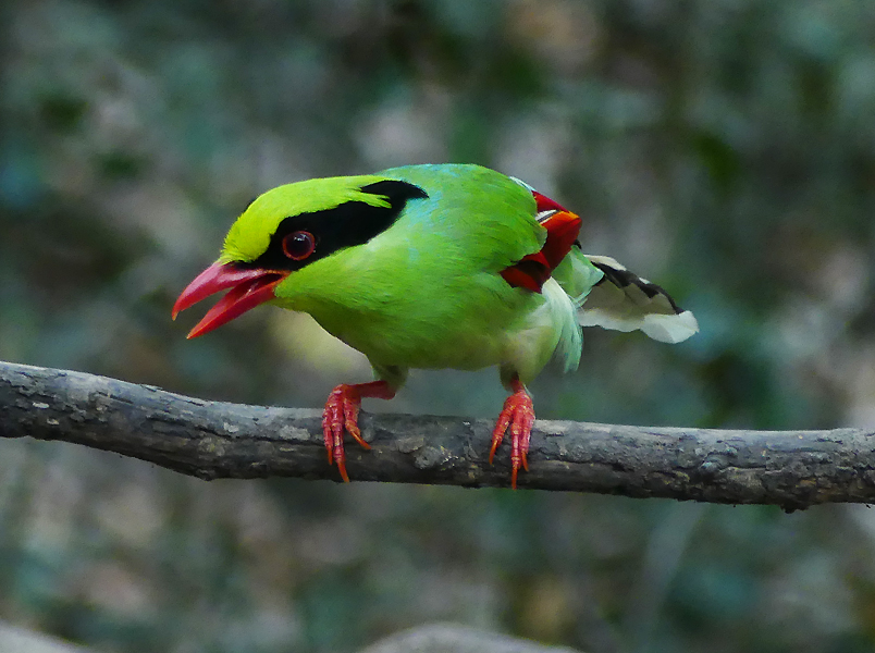 green-magpie5