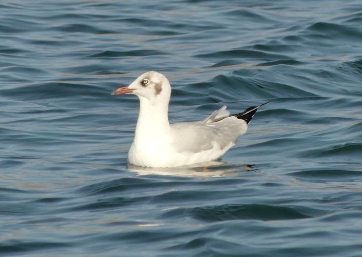Brown-headed-gull