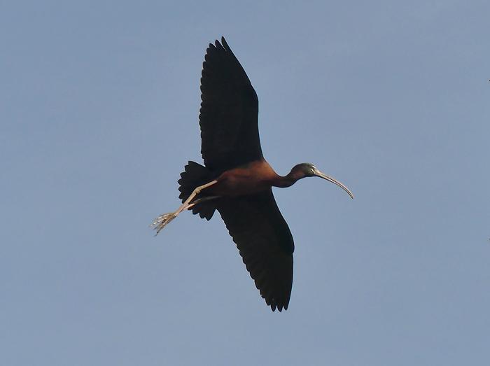 Glossy-ibis2