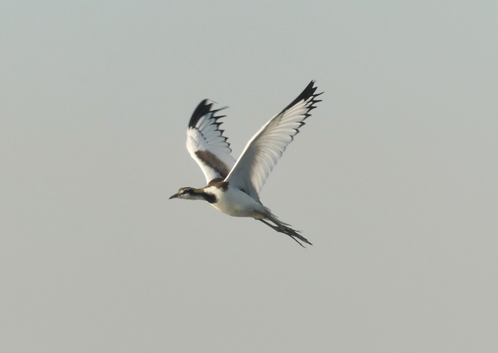 Pheasant-tailed-jacana