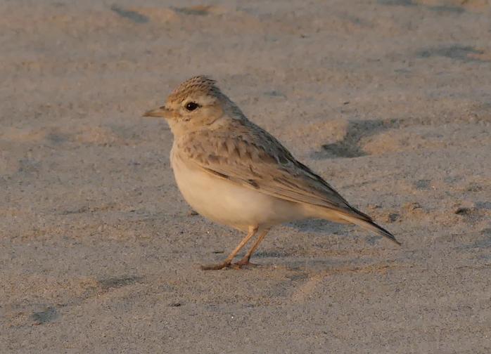 Sand-lark3