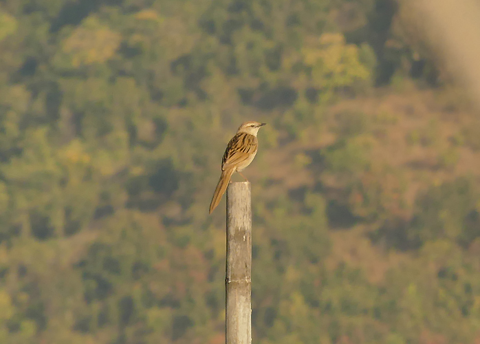 Striated-grassbird