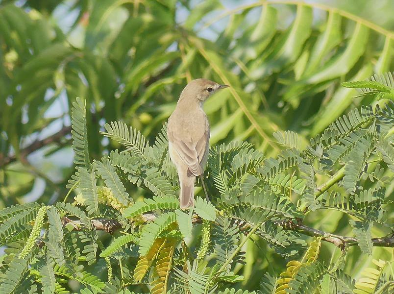 Sykes-warbler